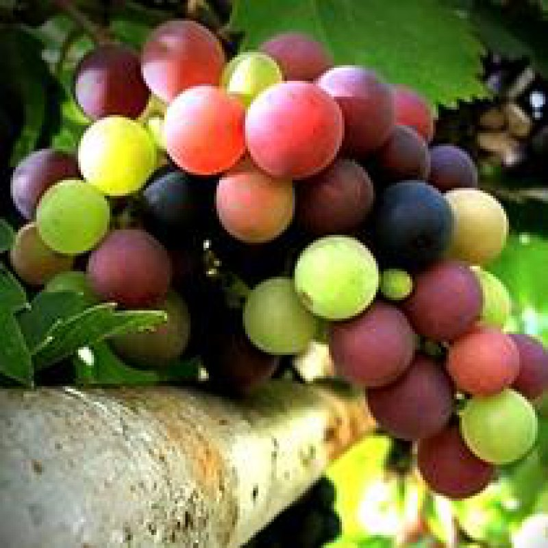 210 x 210: FOOD - DRINK - WINE - GRAPES