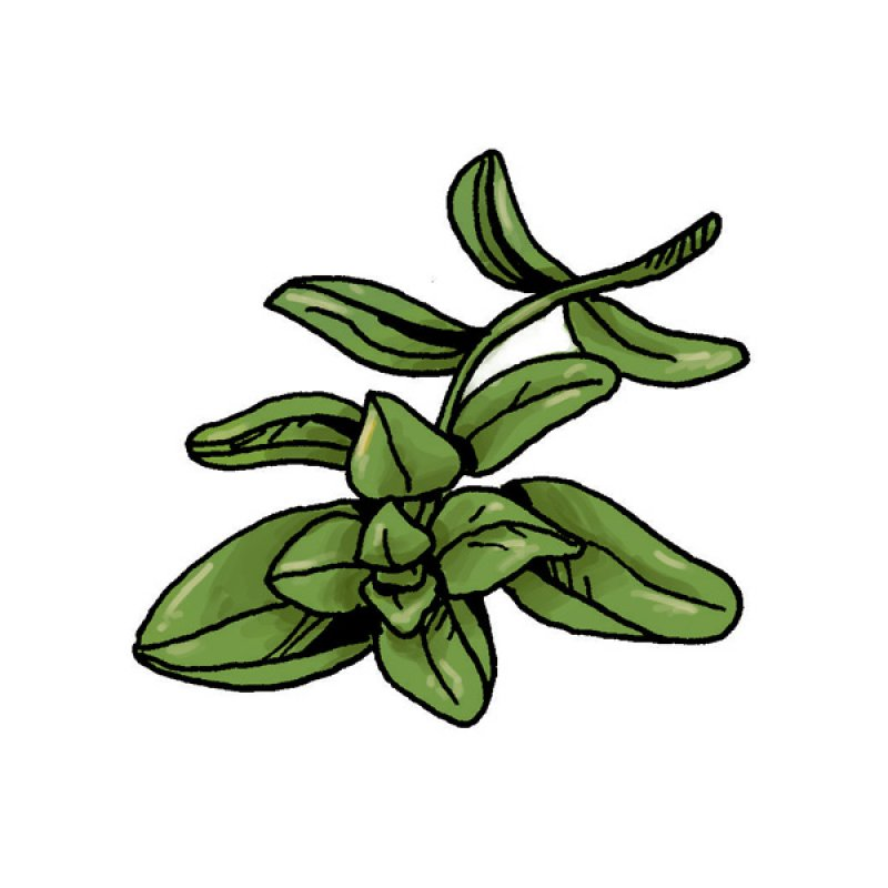 herb, spice, aromas, green leaves